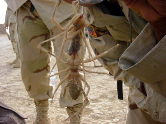 Гигантские верблюжьи пауки в Ираке