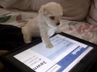 В Нью-Йорке собак специально учат пользоваться планшетами