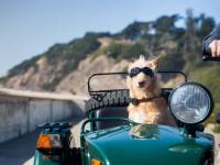 «Умный ошейник» собирает данные о прогулках собаки через GPS