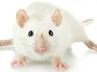 Лабораторных крыс заменят электроникой