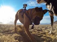 GoPro придумала систему, чтобы вести съёмку «от лица» собаки