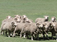 Овчарки будут учить роботов пасти овец
