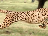 Новый алгоритм позволяет роботу-гепарду разгоняться до 50 км/ч