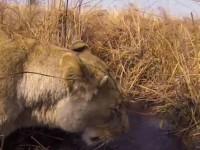 Компания GoPro показала львиную охоту от первого лица