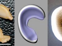 Исследователи заменили мениск напечатанным имплантом
