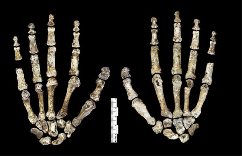 Homo_naledi_hand.0
