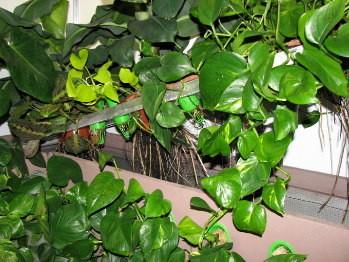 Грунта нет — корни растений находятся в воздухе, что не мешает им расти в два раза быстрее грунтовых