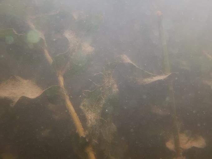 Снимок сделан на глубине около 15 см с помощью Galaxy S7 Edge. Плохая видимость обусловлена мутностью днепровской воды, а не изъянами объектива (нажмите на изображение, чтобы просмотреть оригинал фото)