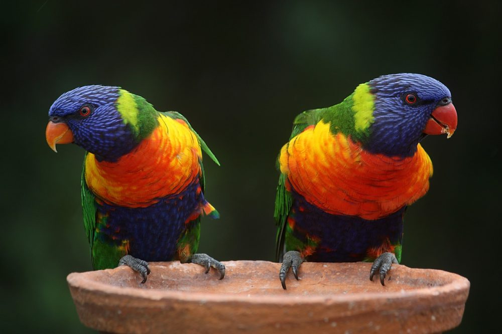 rainbow-lorikeet-686100_1280