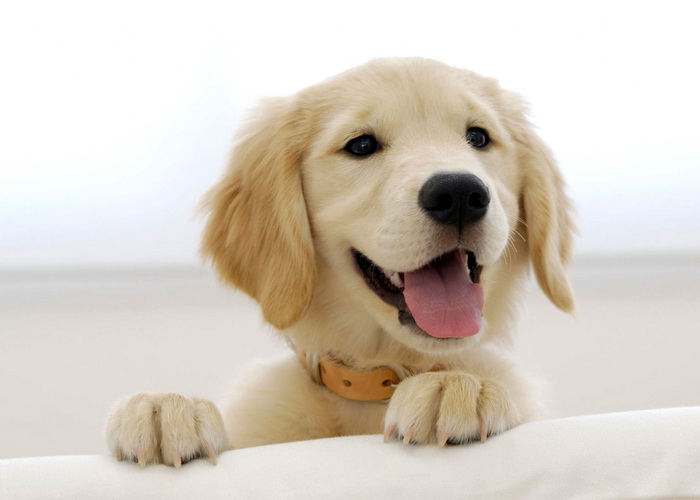 Бадді, апорт! Врешті решт, як собаки розуміють команди людини?